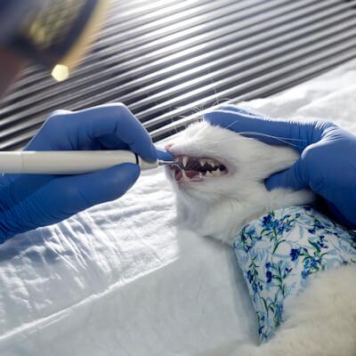Dental disease in your cat