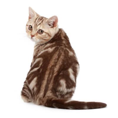 Feline Infectious Anaemia (FIA)