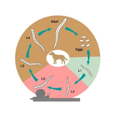 Lungworms In Dogs (Oslerus Osleri)