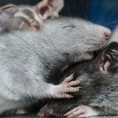 Mice and rats: viral and bacterial infections