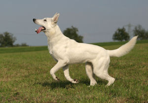 Joint problems in young dogs